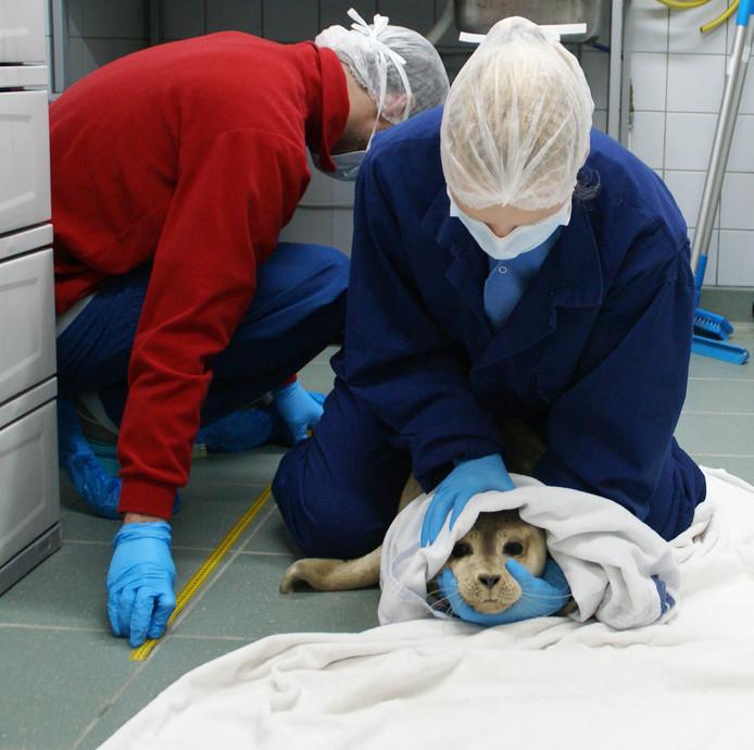 Zieke zeehond wordt behandeld in Pieterburen