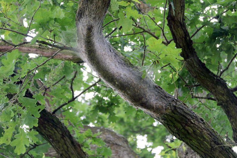 Een nest processierupsen.