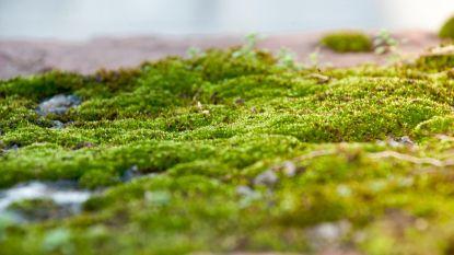 Plantenkundigen waarschuwen voor 'viagra-effect' van korstmossen