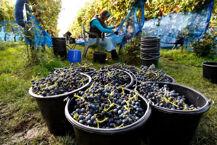 Wordt Limburgse wijn net zo exclusief als champagne? Beeld anp