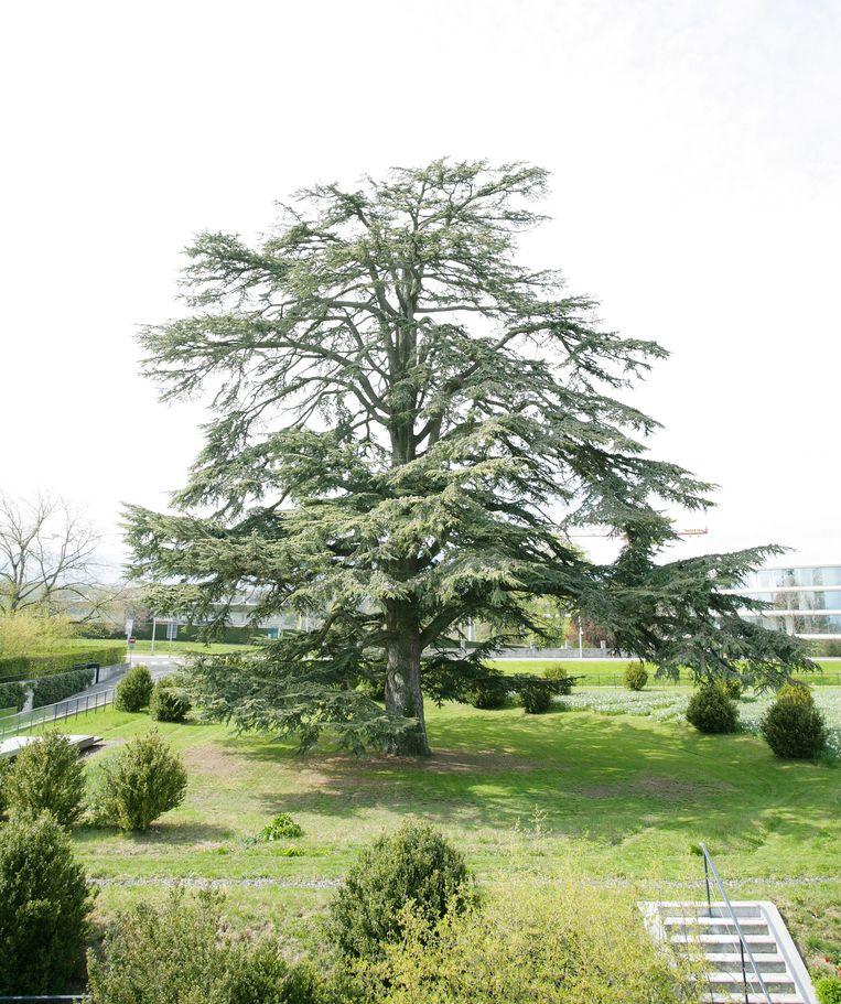 De ceder komt van nature voor in de Himalaja en in de omgeving van de Middellandse Zee. Beeld Colourbox