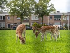De hertjes zijn terug in Steenbergen