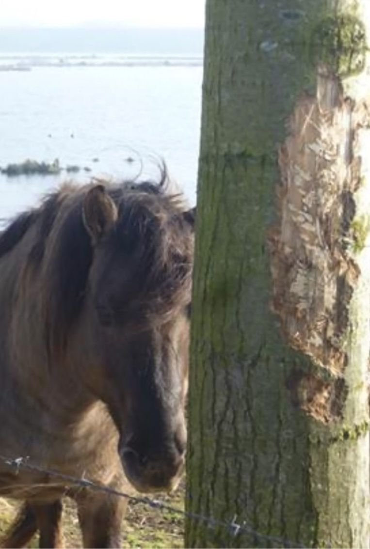 Paarden eten de schors van de bomen op.
