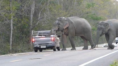 Olifanten blokkeren de weg en plunderen pick-up