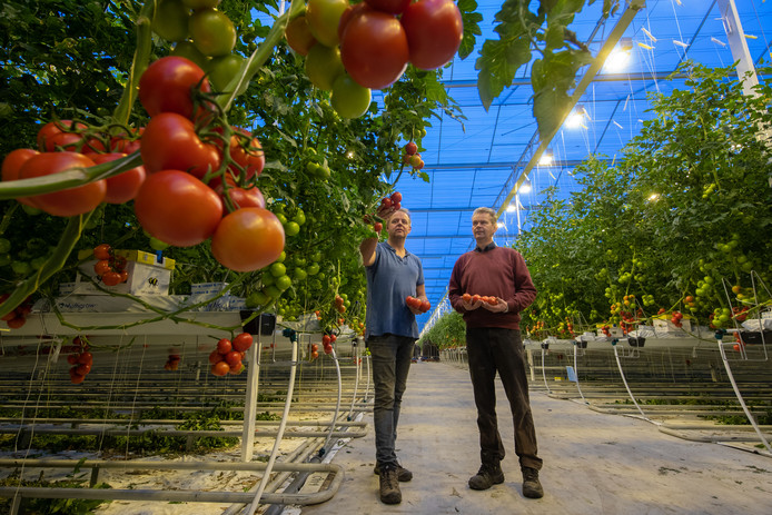 jacob l en klaas van den belt runnen een tomatenkwekerij in de koekoekspolder in