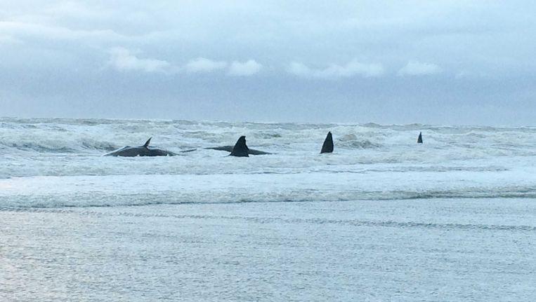 De potvissen bij Texel. Beeld anp