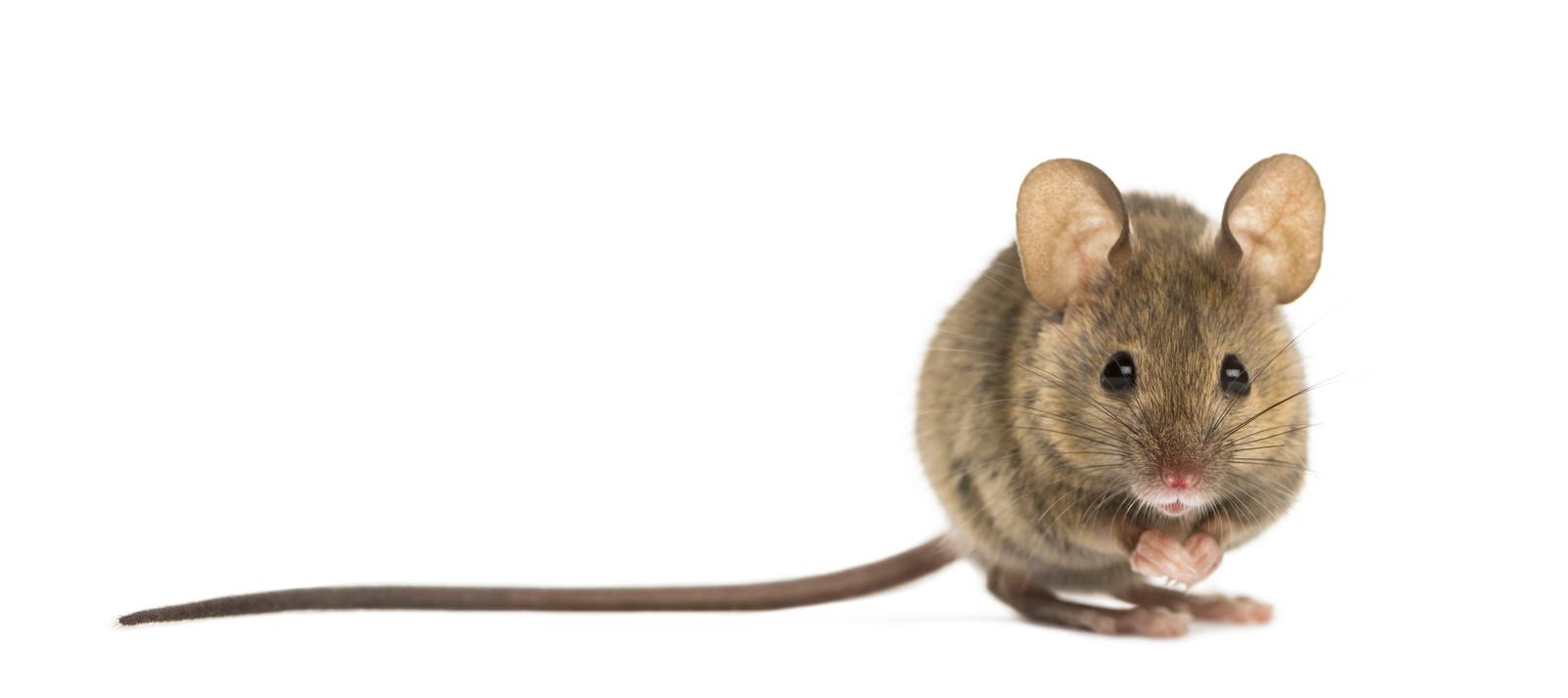 'De muis trippelde door de gang. Ik schreeuwde. De muis rende de keuken in en verdween.' Foto ter illustratie.