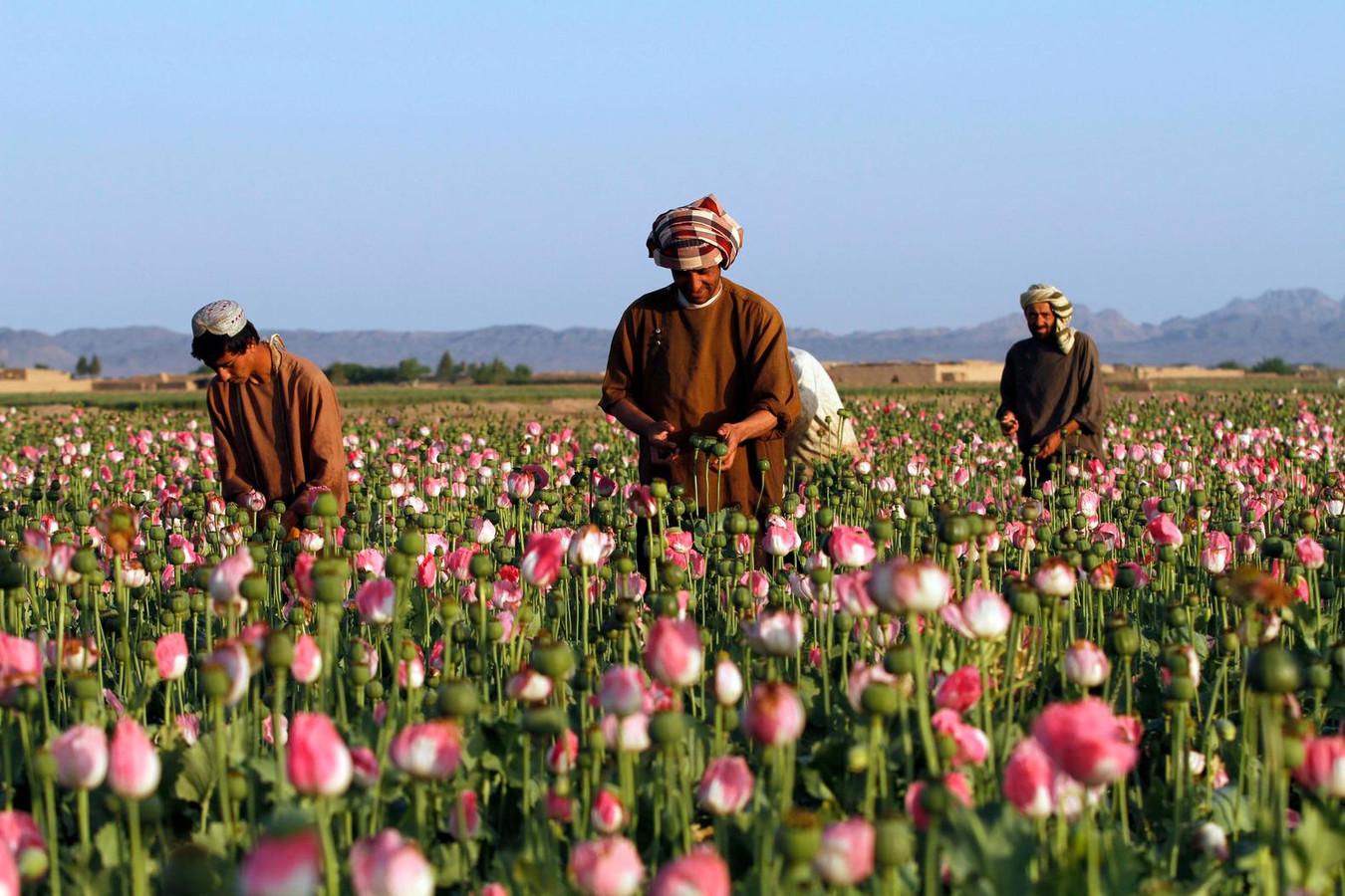 Heroïnestaat nr. 1 onder dwang van de taliban | Foto | AD.nl