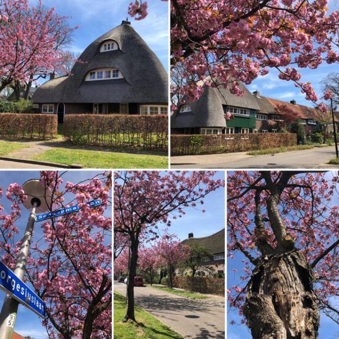 De Japanse sierkersen op de Borgesiuslaan in Amersfoort, die ieder voorjaar veel bekijks trekken, worden na dit weekend omgezaagd.