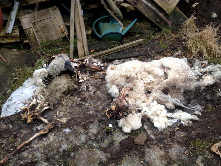 Dertig schapen stierven door ondervoeding.