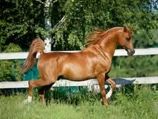 Experts luiden alarmklok rond 'afschuwelijke' fokpraktijken bij paarden