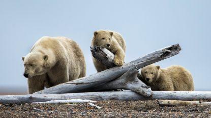 Trump schrapt jachtverbod op jonge beren en wolven
