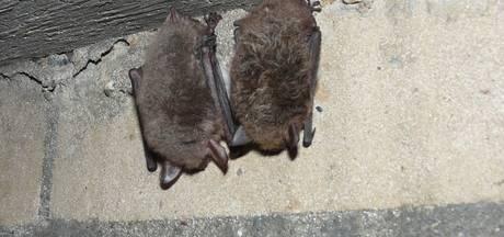 Liefhebber vertelt Zwolle over vleermuizen: 'Ze zijn niet eng'