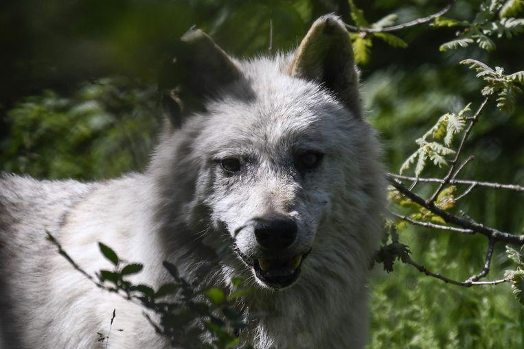 Een wolf in Griekenland. Beeld AFP