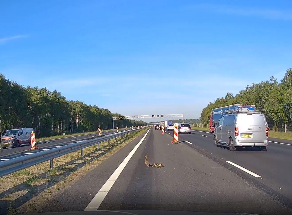Een moedereend steekt de A1 over met haar kuikentjes.