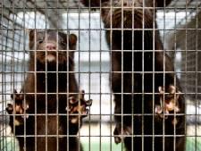 Coronavirus ontdekt bij grote nertsenfokkerij in Zeeland (Landerd), 10.000 dieren worden geruimd