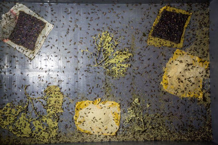 De krekels eten pompoenbladeren. Beeld Sven Torfinn/de Volkskrant