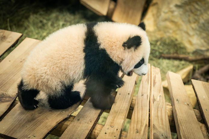 Babypanda Fan Xing