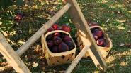 Latemnaars mogen gratis fruit plukken