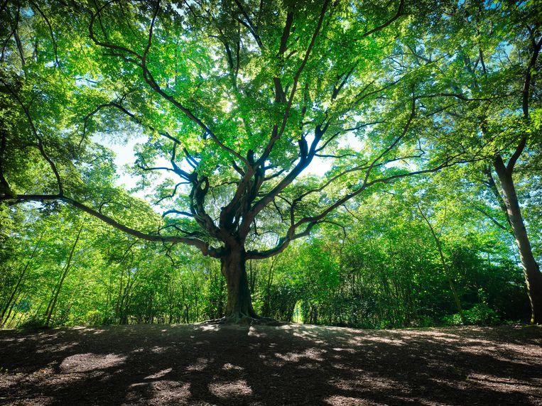 De Heksenboom van Zwarte Kaat in Bladel, Noord-Brabant.  Beeld Mark Kohn