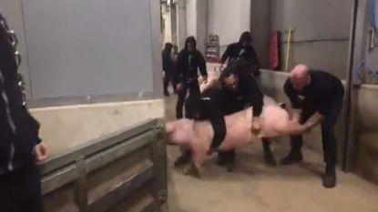 Dierenactivisten kidnappen varken en worden aangeklaagd wegens... dierenmishandeling