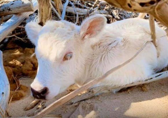 Dori de koe die orkaan Dorian overleefde, bevalt van een mirakelkalfje.