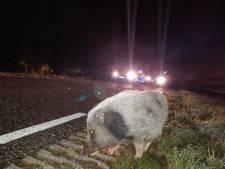 Vies klusje voor Enschedese agenten: ontsnapt varken loopt urenlang door Enschede