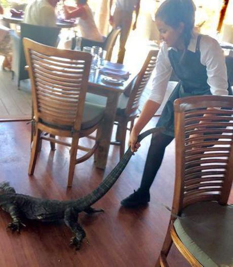 Dappere serveerster sleurt groot reptiel van terras