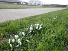 Witte krokussen symboliseren de moed op de grens
