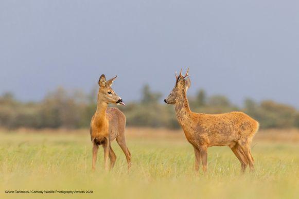 Had mijnheer hert nog liefdesplannen vanavond? Dan smoort mevrouw hert met dit ondeugend gebaar deze definitief in de kiem. De foto is in Estland gekiekt.
