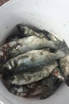 Vissers vangen ondermaatse zeebaarzen in Borssele