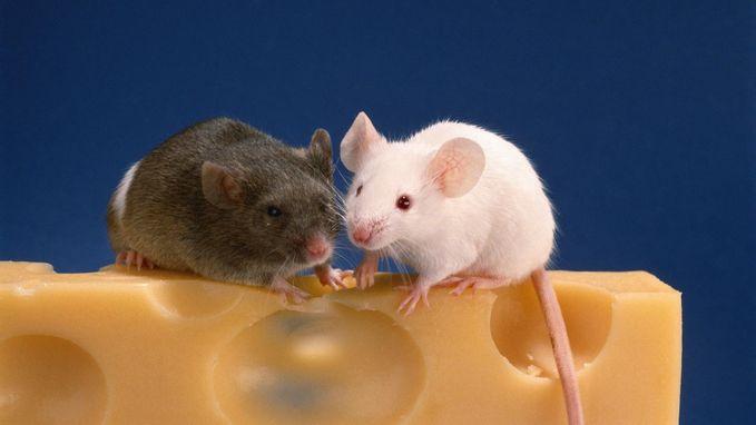 Opmerkelijk verschil rond agressie en seksualiteit bij hersenen van mannelijke en vrouwelijke muizen