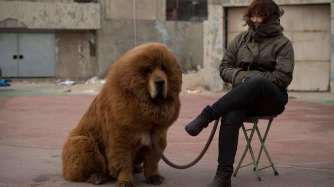 De hond waarvoor Chinezen graag 500.000 euro neertellen
