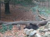 Eikels en warm najaar houden beren uit winterslaap