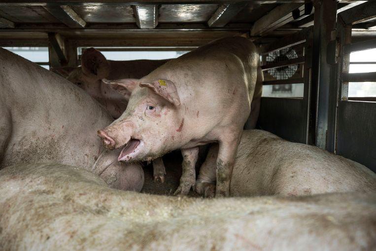 De varkens in de veewagen. Beeld Werry Crone