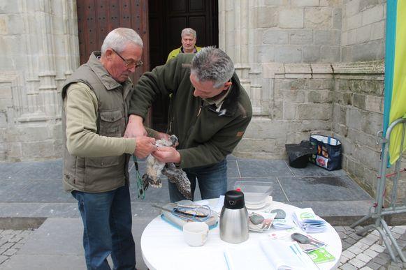 De slechtvalken kregen een ring om, zodat onderzoekers meer informatie krijgen over de gezondheid van de bedreigde vogelsoort.