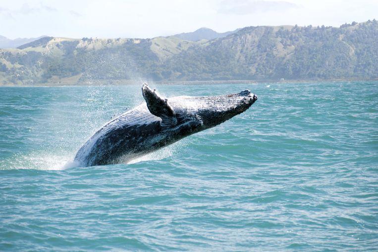 Een Australische bultrug. Google liet een algoritme 100.000 uur aan audio-opnames van walvisgeluiden doorploegen voor wetenschappelijk onderzoek. Beeld thinkstock