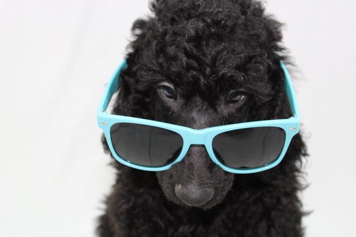 Wie zegt dat zonnebrillen alleen voor mensen zijn? Deze poedelpup staat het ook goed.