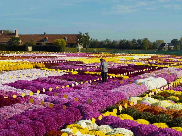 Dit is de grootste chrysantenkwekerij ter wereld