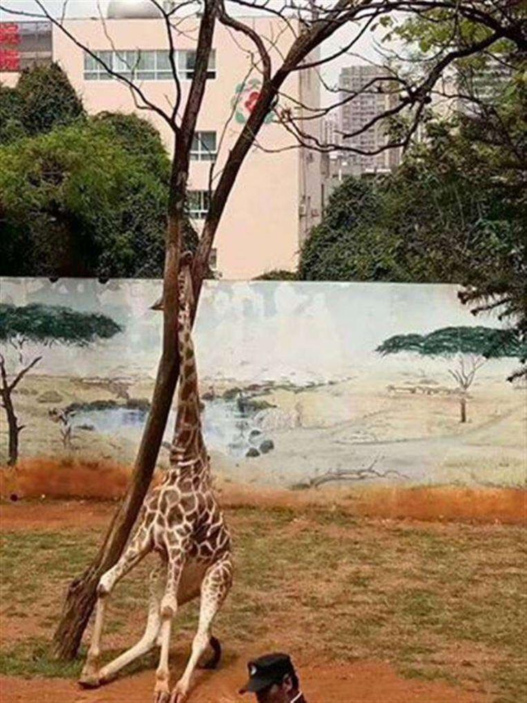 giraf zoo china