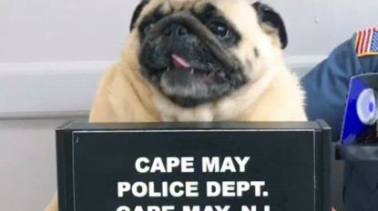Vermiste mopshond herenigd met baasje nadat politie 'pugshot' deelt