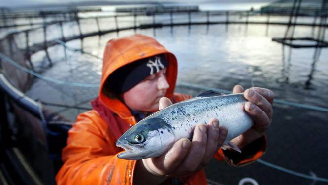 Groep zeehonden richt ravage aan bij Schotse zalmkwekerij