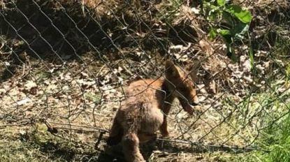 """Jonge vos sterft door illegale klem in Rotselaar: """"Duidelijk met opzet in de buurt van het nestje geplaatst"""""""