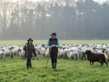 Landschap met schapen in zacht tegenlicht