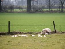 Quatre moutons tués par un loup dans le Limbourg?