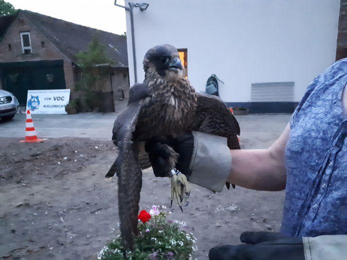 De jonge slechtvalk wordt momenteel verzorgd in het vogelopvangcentrum van Kieldrecht.