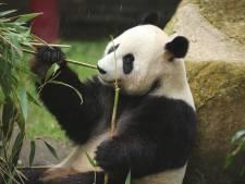 LIVE | Zwangere panda Ouwehands Dierenpark krijgt geen Chinees bezoek, eerste besmetting in Israël
