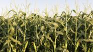 VIB mag omstreden DNA-veldproeven op maïs verderzetten