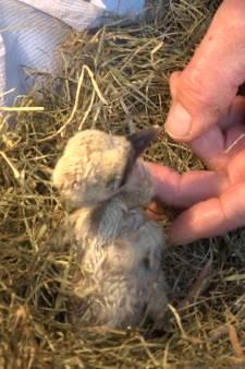 Twentse ooievaarsbaby's zien na verhuizing dan toch het levenslicht