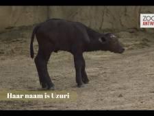 VIDEO. Schattig: Buffeltje geboren in Antwerpse zoo